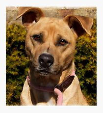 Handsome Pit Bull  Mix Photographic Print