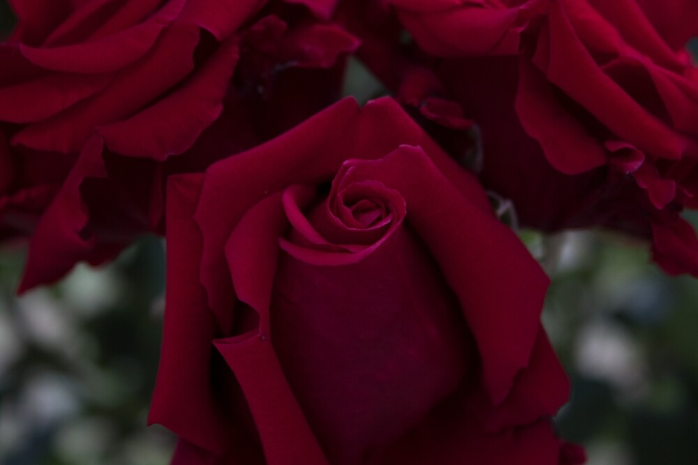 Roses by CirithThalion