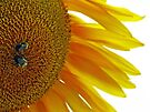 Sunflower with Bumblebees by FrankieCat