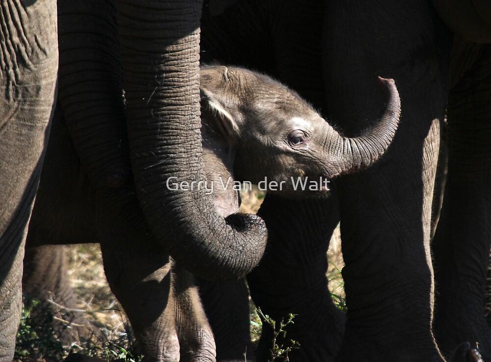 New Elephant by Gerry Van der Walt
