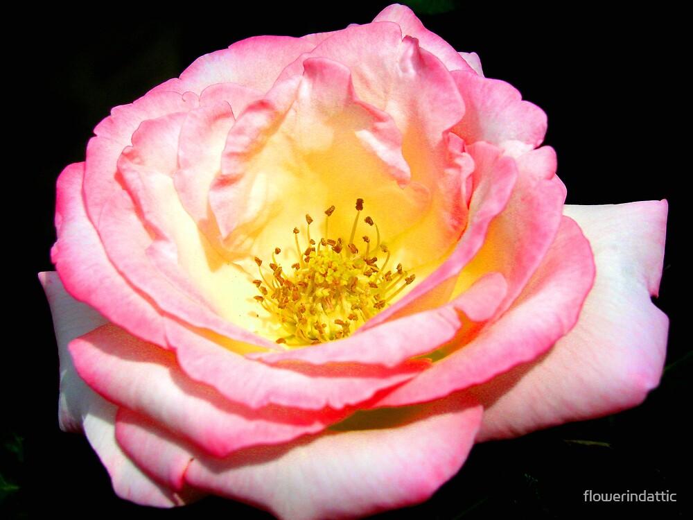 pink rose by flowerindattic