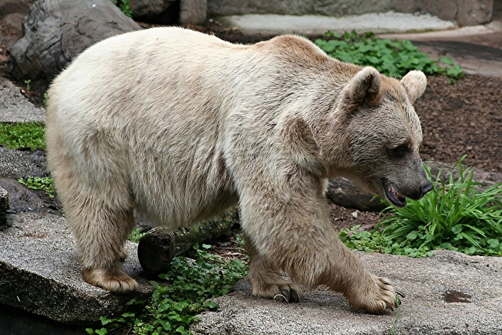 Bear at zoo by FranWest