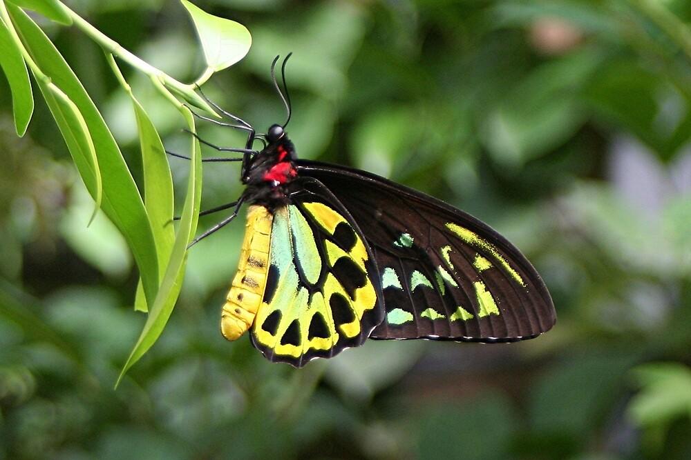 Cairns Birdwing Butterfly, Australia by FranWest