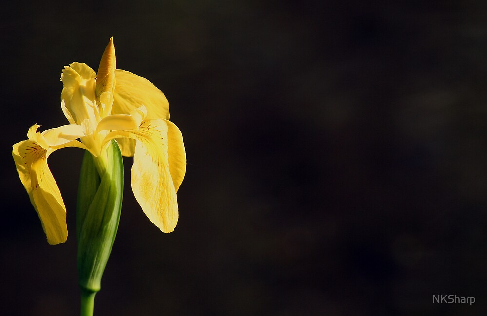 Wild Yellow Iris on black background by NKSharp