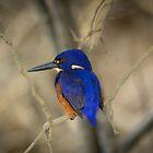 Azure kingfisher by AnnaKT
