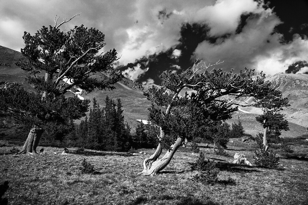 Pines in the Mosquito Range by pwahl