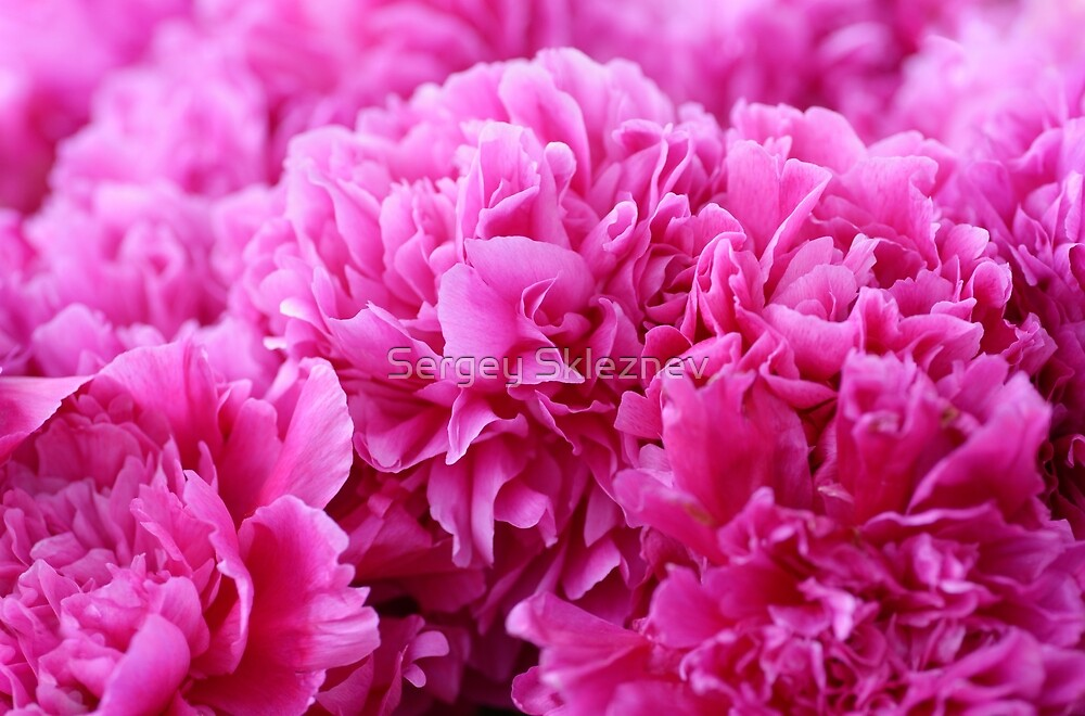 Bunch of pink peonies by Sergey Skleznev