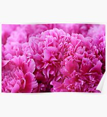 Bunch of pink peonies Poster
