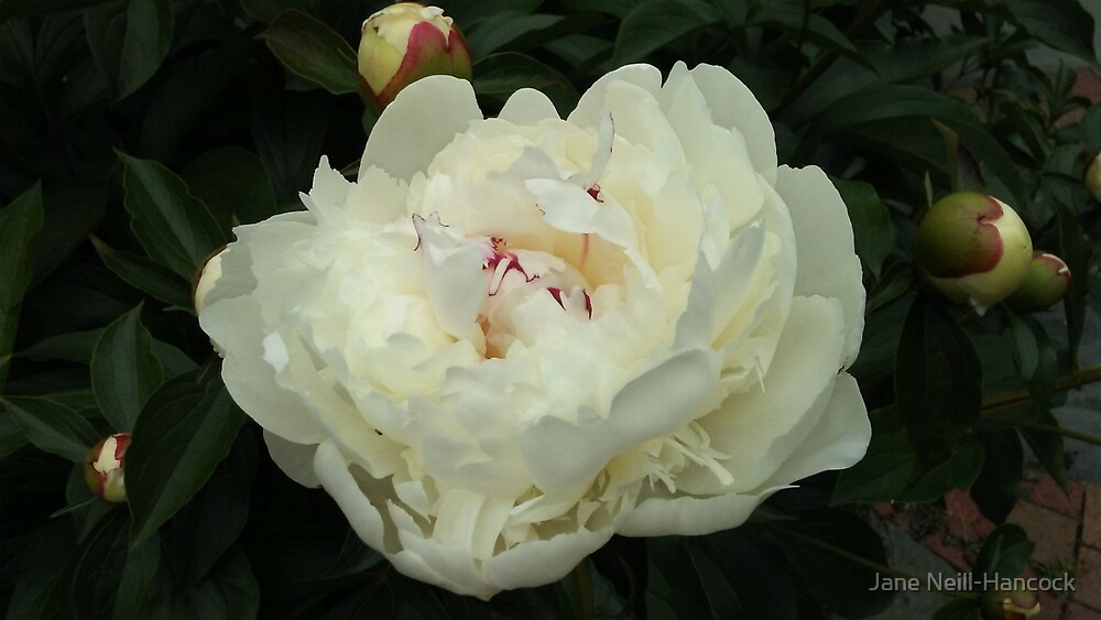 Huge White Peony with Buds by Jane Neill-Hancock