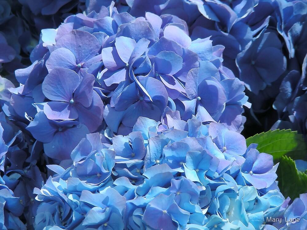 Blue Hydrangea by Mary  Lane
