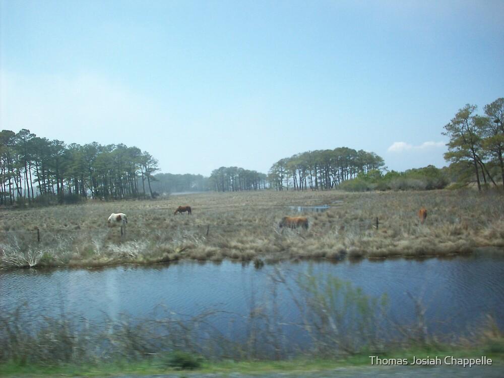 Assateague Ponies graze the marshlands by Thomas Josiah Chappelle