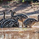 Emu chicks by Janette Rodgers