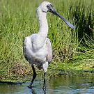 Royal Spoonbill by Janette Rodgers