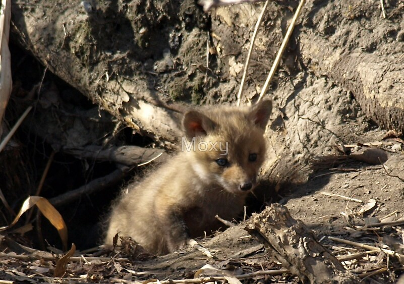 Red Fox Pup by Moxy