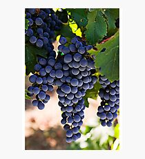 Fresh Grapes From the Tree Photographic Print