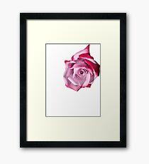 Rose of Pinks Framed Print