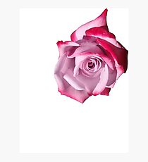 Rose of Pinks Photographic Print