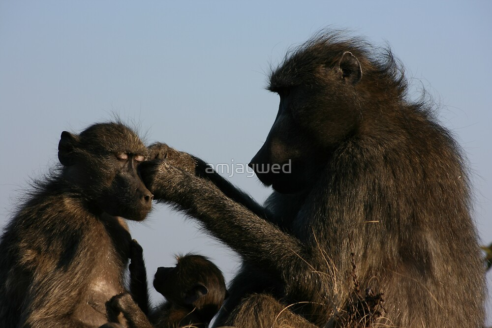 Baboons grooming by amjaywed