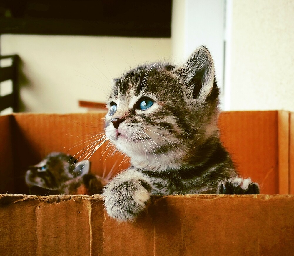 Adorable tabby cat kittens looking out of a box - very cute! by superdazzle