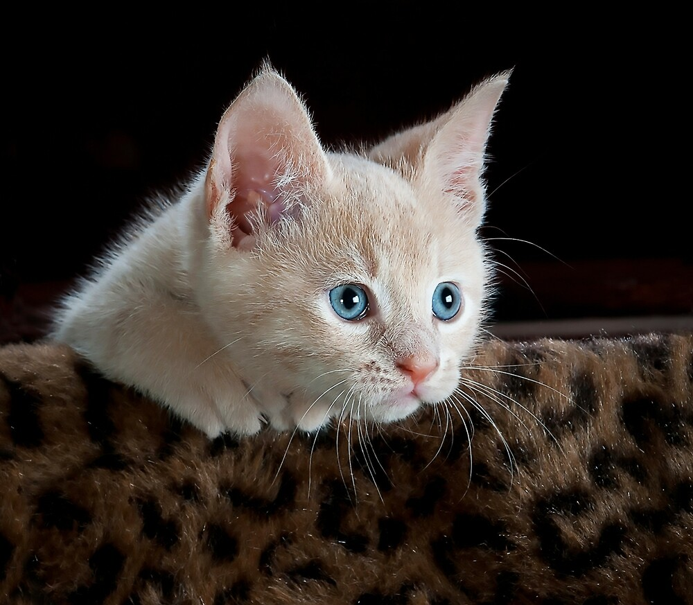 Cute kitten with blue eyes looking over the sofa by superdazzle