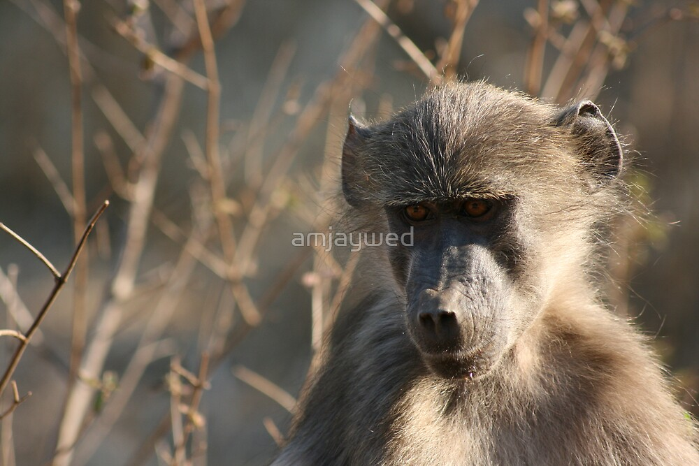 Baboon by amjaywed