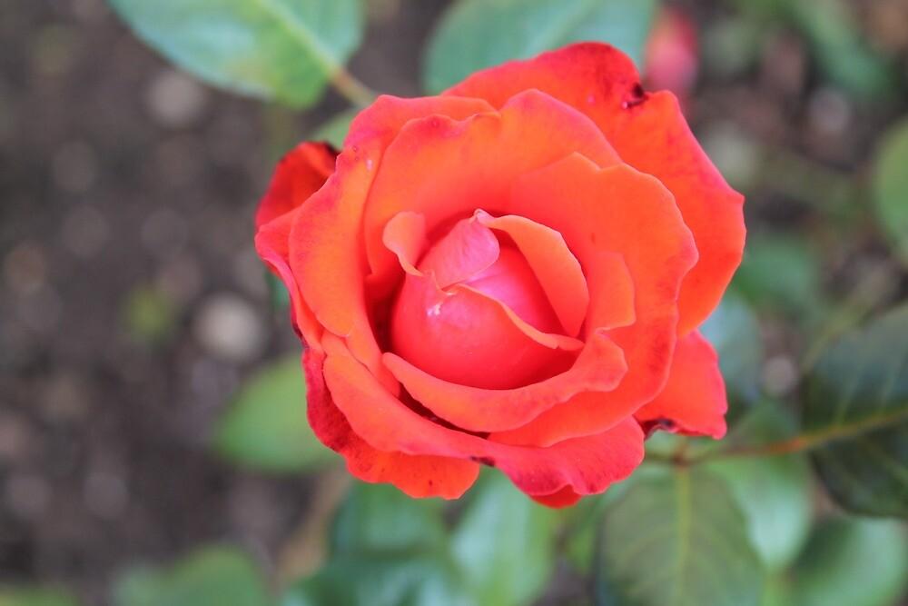 roses by rachariedel