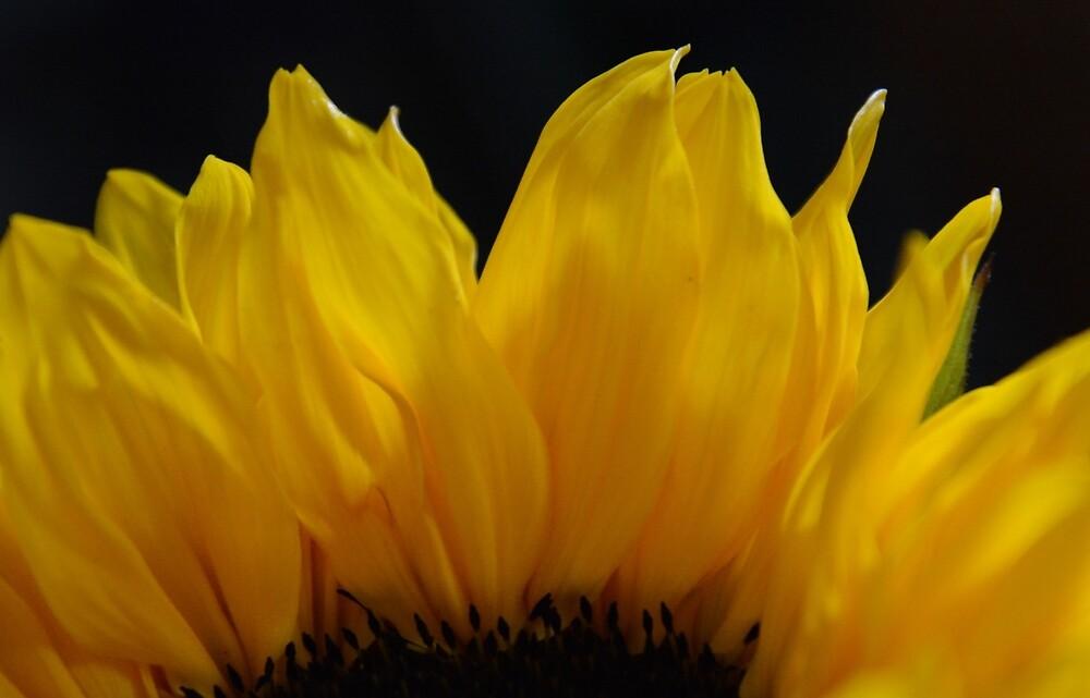 Sunflower Petals by Whisperingpeaks