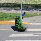 Peacock Crossing by AnnDixon