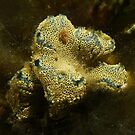 Sea squirts (Botrylloides leachii) - upper Spencer Gulf, South Australia by Dan Monceaux