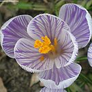Purple And White Crocus Macro by 1greenthumb