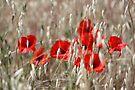 Poppies - JUSTART ©  by JUSTART