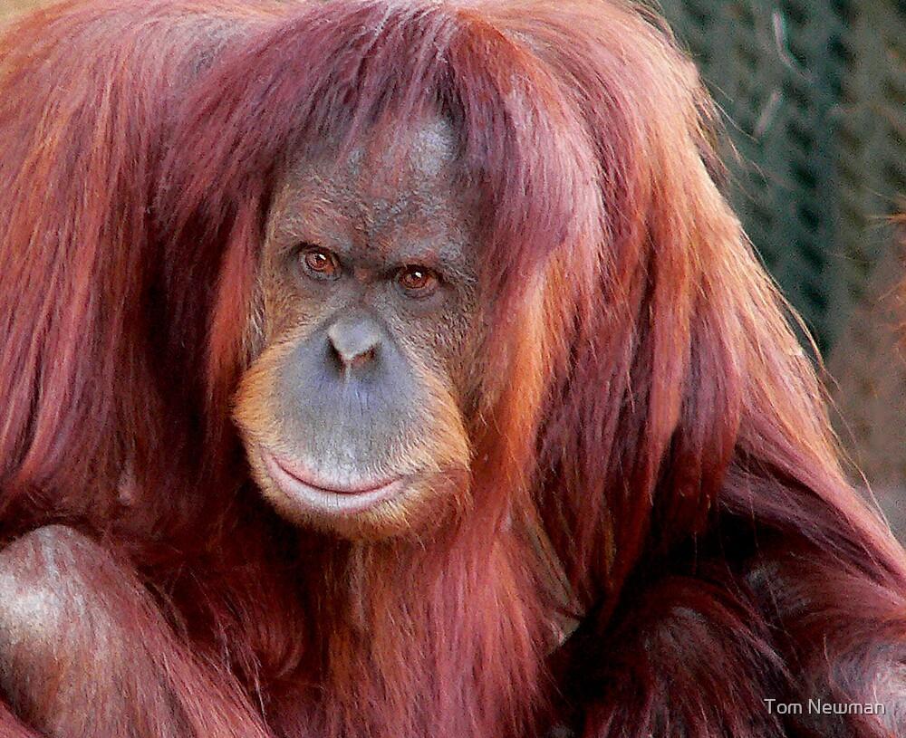 Orang Utan Melbourne Zoo by Tom Newman