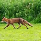 Red Fox by M S Photography/Art
