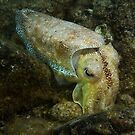 Giant Australian cuttlefish (Sepia apama) - Upper Spencer Gulf, South Australia by Dan Monceaux