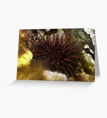Purple sea urchin (Heliocidaris erythrogramma) - Upper Spencer Gulf, South Australia Greeting Card