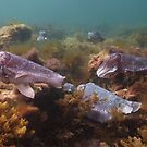 The great giant Australian cuttlefish aggregation - Spencer Gulf, South Australia by Dan Monceaux