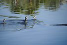 Ducks swiming in the river by Moshe Cohen