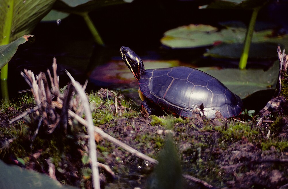 Painted Turtle by bertspix