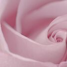 Soft Pink Rose Macro  by Sandra Foster