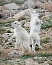 Goat dance by Eivor Kuchta