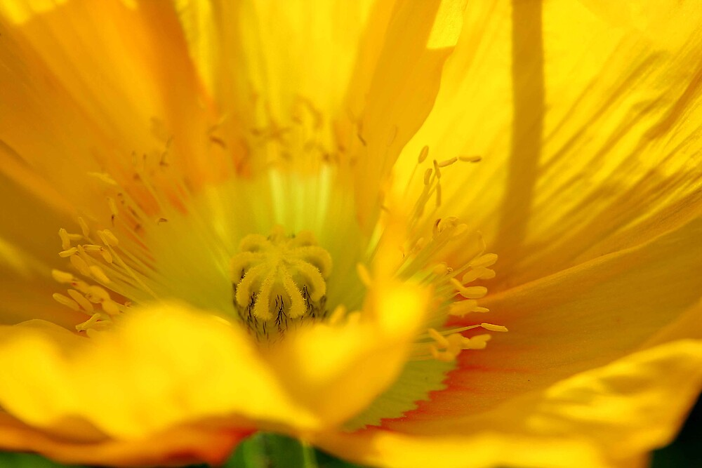 yellow poppy day by ingridewhere