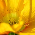 yellow poppy day by ingridewhere