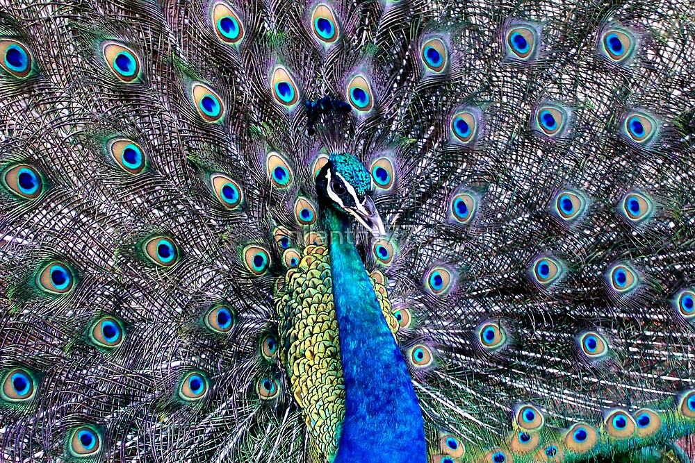 Peacock Sri Lanka  by nilantha77