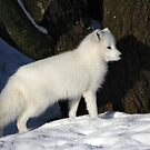 Arctic Fox. by Roddy Atkinson
