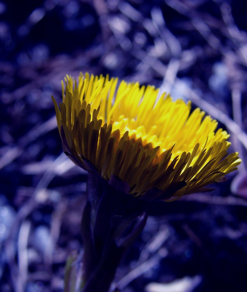 Coltsfoot in blue by evamarina