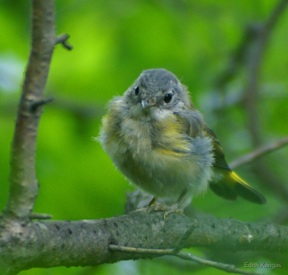 American Redstart Warbler by Edith Kangas