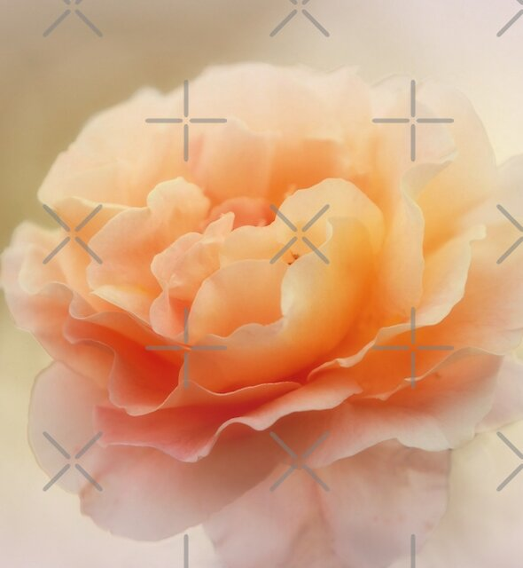 Apricot Rose by Elaine Teague