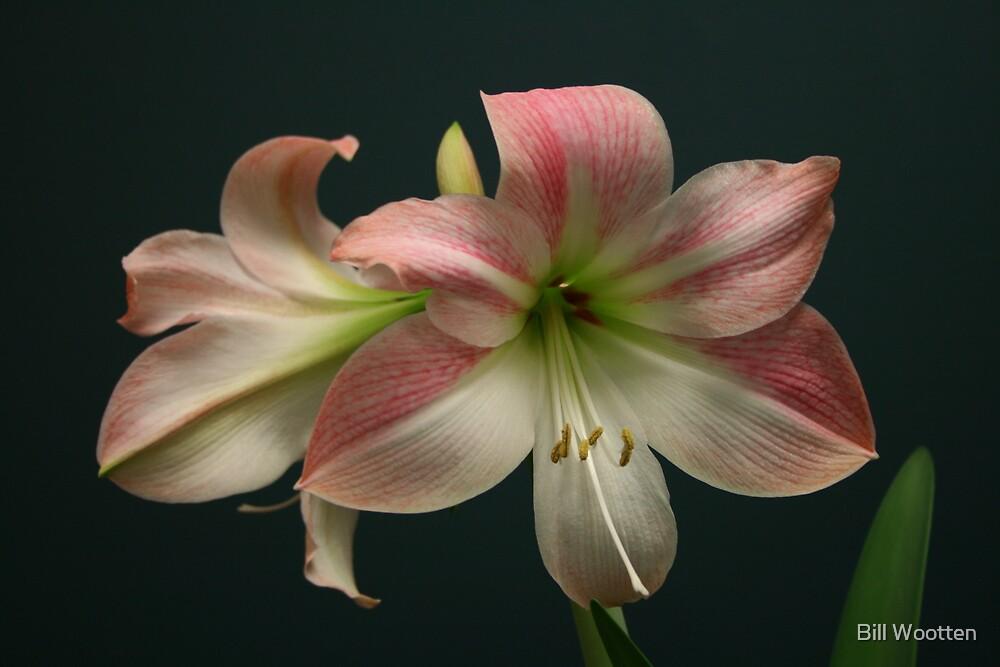 Amaryllis (pink diamond) by Bill Wootten