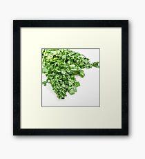 Fresh and organic Coriander (Coriandrum sativum) on white background Framed Print