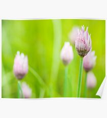 Chives Flower Buds Poster